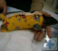 Фото 3 б. Крыса после операции