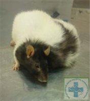 Внешний вид крысы с опухолью молочной железы